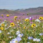 Anuncian proyecto piloto de riego para tener Desierto Florido todos los años en Atacama